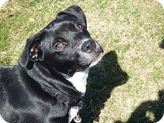 Labrador Retriever Mix Puppy for adoption in Marlton, New Jersey - Cyndee