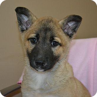 Labrador Retriever/German Shepherd Dog Mix Puppy for adoption in Mt Sterling, Kentucky - Tyanna