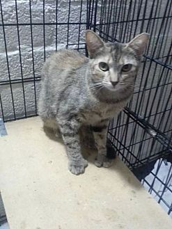 Domestic Shorthair Cat for adoption in Scottsdale, Arizona - Sandy