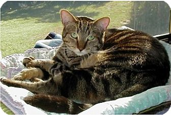 Domestic Shorthair Cat for adoption in Boca Raton, Florida - Margarette