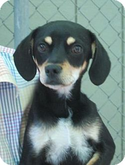 Beagle Mix Dog for adoption in Sonoma, California - Bogie