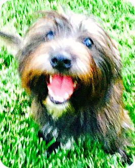 Havanese Mix Dog for adoption in Boulder, Colorado - Jason-ADOPTION PENDING
