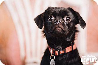 Pekingese Mix Dog for adoption in Portland, Oregon - Tessa