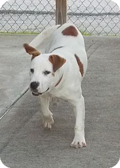 American Bulldog/Shepherd (Unknown Type) Mix Dog for adoption in Lewisburg, Tennessee - Feo