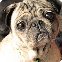 Adopt A Pet :: Sasha - Pismo Beach, CA