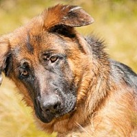 German Shepherd Dog Dog for adoption in Newport Beach, California - Thor