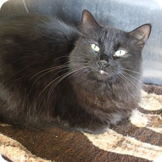 Domestic Longhair Cat for adoption in Naperville, Illinois - Sophie