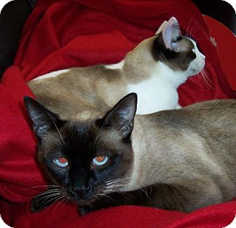 Siamese Cat for adoption in Walnut Creek, California - Cleo and Tony