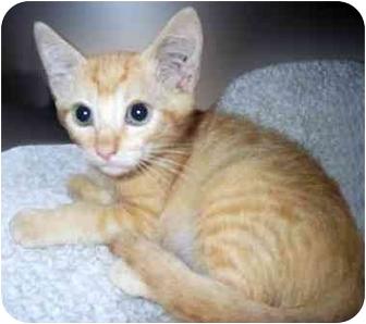 Domestic Shorthair Kitten for adoption in San Clemente, California - BACH