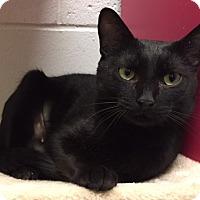 Adopt A Pet :: Betty Boop - Manchester, CT