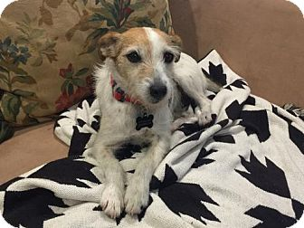 Parson Russell Terrier Dog for adoption in Moorpark, California - Dina (San Diego)