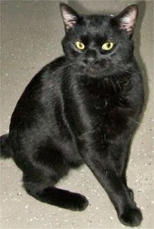 Domestic Shorthair/Domestic Shorthair Mix Cat for adoption in Waupaca, Wisconsin - Spencer