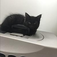 Adopt A Pet :: Elsa - Westland, MI