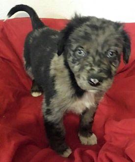 Australian Shepherd Mix Puppy for adoption in House Springs, Missouri - Silver