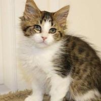 Adopt A Pet :: Pb litter - Dougie - Livonia, MI