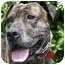 Photo 1 - Boxer/Mastiff Mix Dog for adoption in Los Angeles, California - Tommy