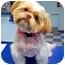 Photo 2 - Shih Tzu Dog for adoption in Los Angeles, California - JOSEE