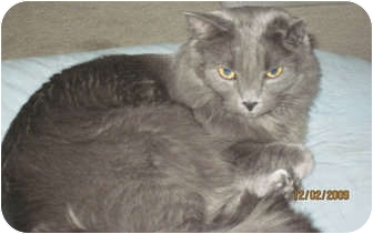 Russian Blue Cat for adoption in Baton Rouge, Louisiana - Shelby