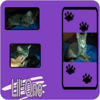 Domestic Shorthair Kitten for adoption in Hollywood, Florida - LIL' ONE