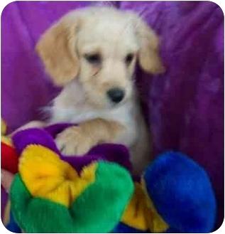 Cocker Spaniel/Terrier (Unknown Type, Small) Mix Puppy for adoption in McArthur, Ohio - EVAN