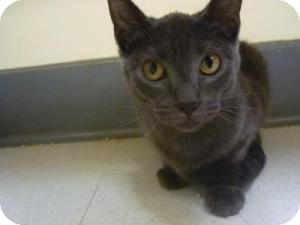 Domestic Shorthair Cat for adoption in Milwaukee, Wisconsin - Mindy