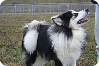 Alaskan Malamute/Husky Mix Puppy for adoption in Ponderay, Idaho - Shircon
