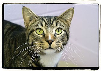 Domestic Shorthair Cat for adoption in Elmwood Park, New Jersey - Alex