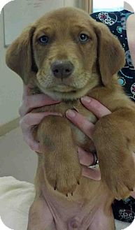 Beagle Mix Puppy for adoption in Gahanna, Ohio - ADOPTED!!!   Walter