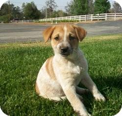 Cattle Dog/Shepherd (Unknown Type) Mix Puppy for adoption in Tustin, California - Heidi