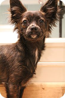 Papillon/Chihuahua Mix Puppy for adoption in Greenville, Virginia - Beezus