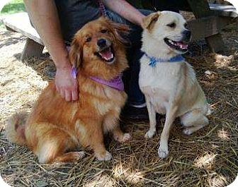 Cavalier King Charles Spaniel/Cocker Spaniel Mix Dog for adoption in Antioch, Illinois - Lilo ADOPTED!!