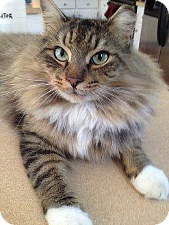 Domestic Mediumhair Cat for adoption in Tampa, Florida - Bruce