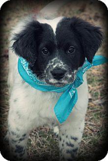 Australian Shepherd/Border Collie Mix Puppy for adoption in Cranford, New Jersey - THUMPER