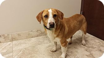 Beagle/Corgi Mix Dog for adoption in Plainfield, Illinois - Doc