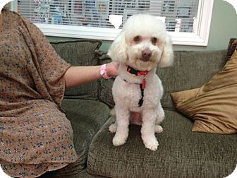 Miniature Poodle Mix Dog for adoption in Thousand Oaks, California - Hank
