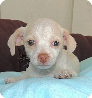 Jack Russell Terrier/Chihuahua Mix Puppy for adoption in La Habra Heights, California - Daisy