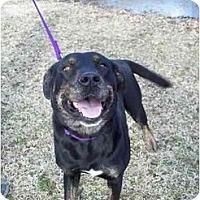 Rottweiler/Labrador Retriever Mix Dog for adoption in Kaufman, Texas - Beauty