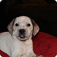 Adopt A Pet :: La - Westminster, CO
