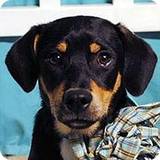 Basset Hound Mix Puppy for adoption in Weatherford, Texas - Rascal