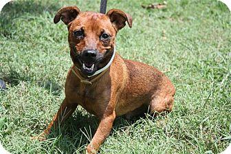 Dachshund/Miniature Pinscher Mix Dog for adoption in Conway, Arkansas - Bruiser