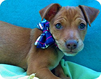 Jack Russell Terrier/Dachshund Mix Puppy for adoption in Irvine, California - Spice Latte