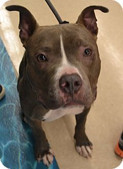 American Staffordshire Terrier/American Pit Bull Terrier Mix Dog for adoption in Charlotte, North Carolina - Juliet