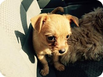 Poodle (Miniature)/Terrier (Unknown Type, Medium) Mix Puppy for adoption in Ripon, California - Princess Wags