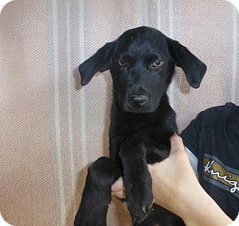 Labrador Retriever Mix Puppy for adoption in Oviedo, Florida - Jack