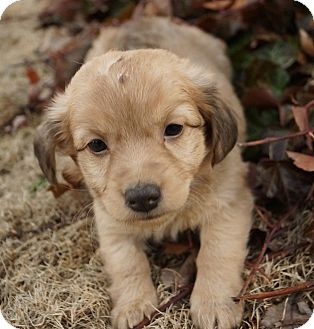 Spaniel (Unknown Type) Mix Puppy for adoption in Newark, Delaware - Carrie