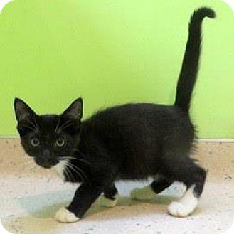 Domestic Shorthair Kitten for adoption in Janesville, Wisconsin - Reeve