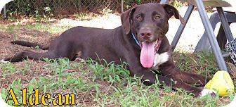 Labrador Retriever Mix Dog for adoption in Georgetown, South Carolina - Aldean