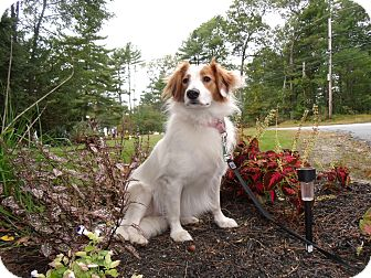 Sheltie, Shetland Sheepdog/Cavalier King Charles Spaniel Mix Dog for adoption in Worcester, Massachusetts - HannaH