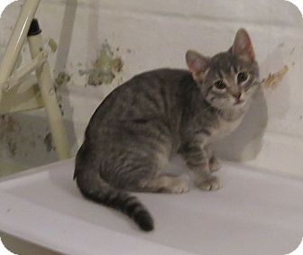 Domestic Shorthair Kitten for adoption in Geneseo, Illinois - Tallulah