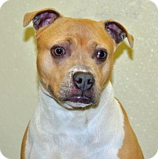Pit Bull Terrier Mix Dog for adoption in Port Washington, New York - Pocket